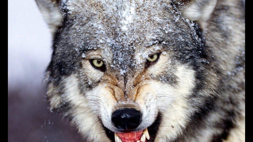 Клык волка: значение амулета для мужчин, женщин, детей