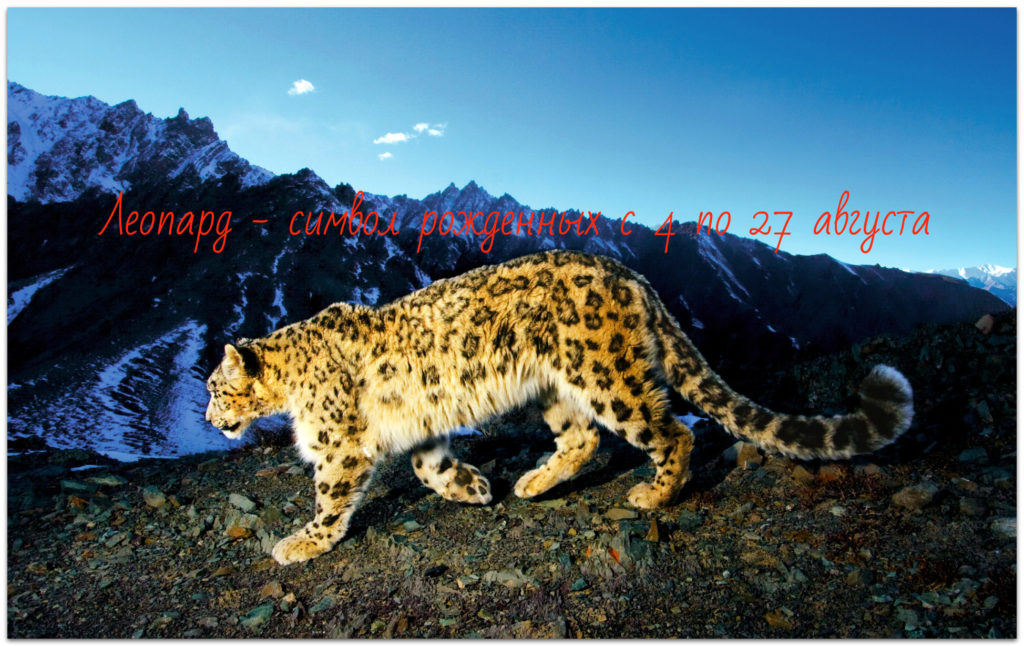 Леопард - тотем чертога раса