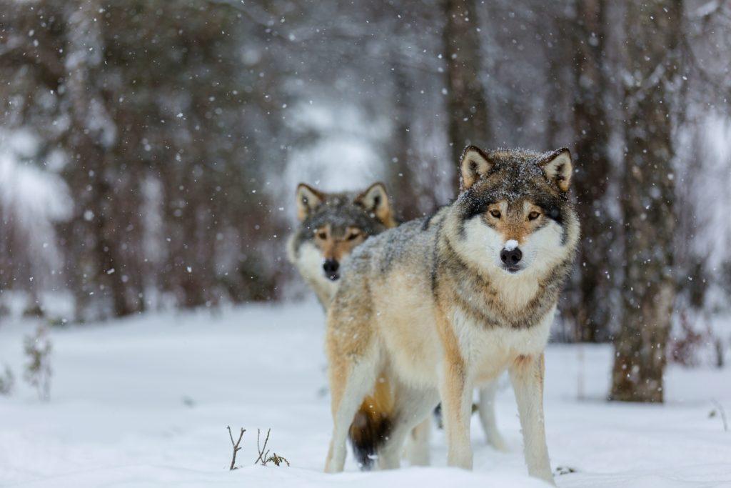 Чертог волка
