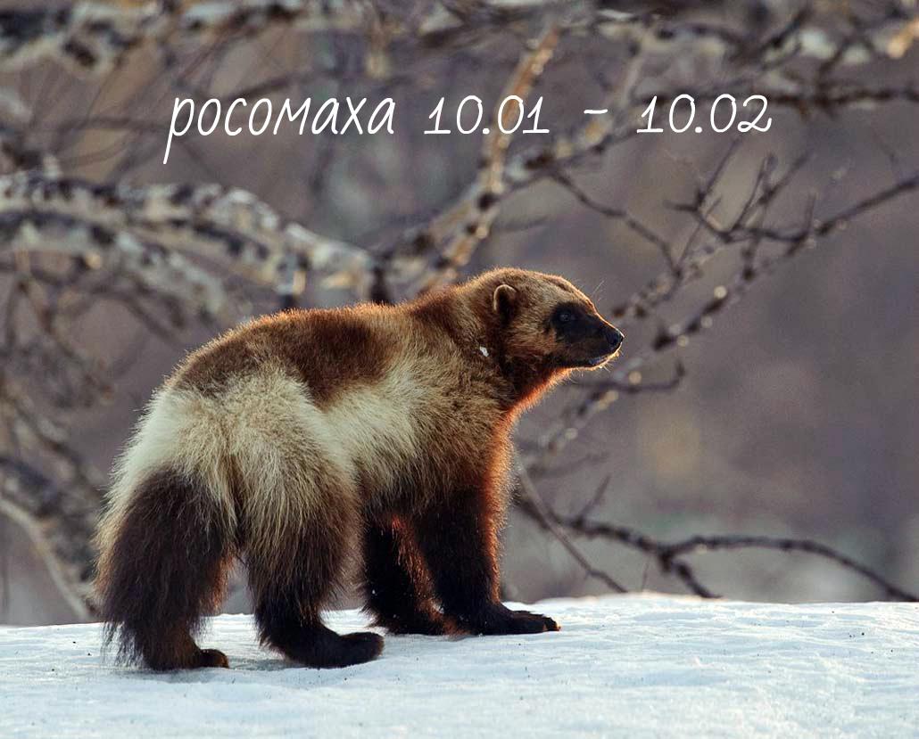 славянский гороскоп животных - росомаха