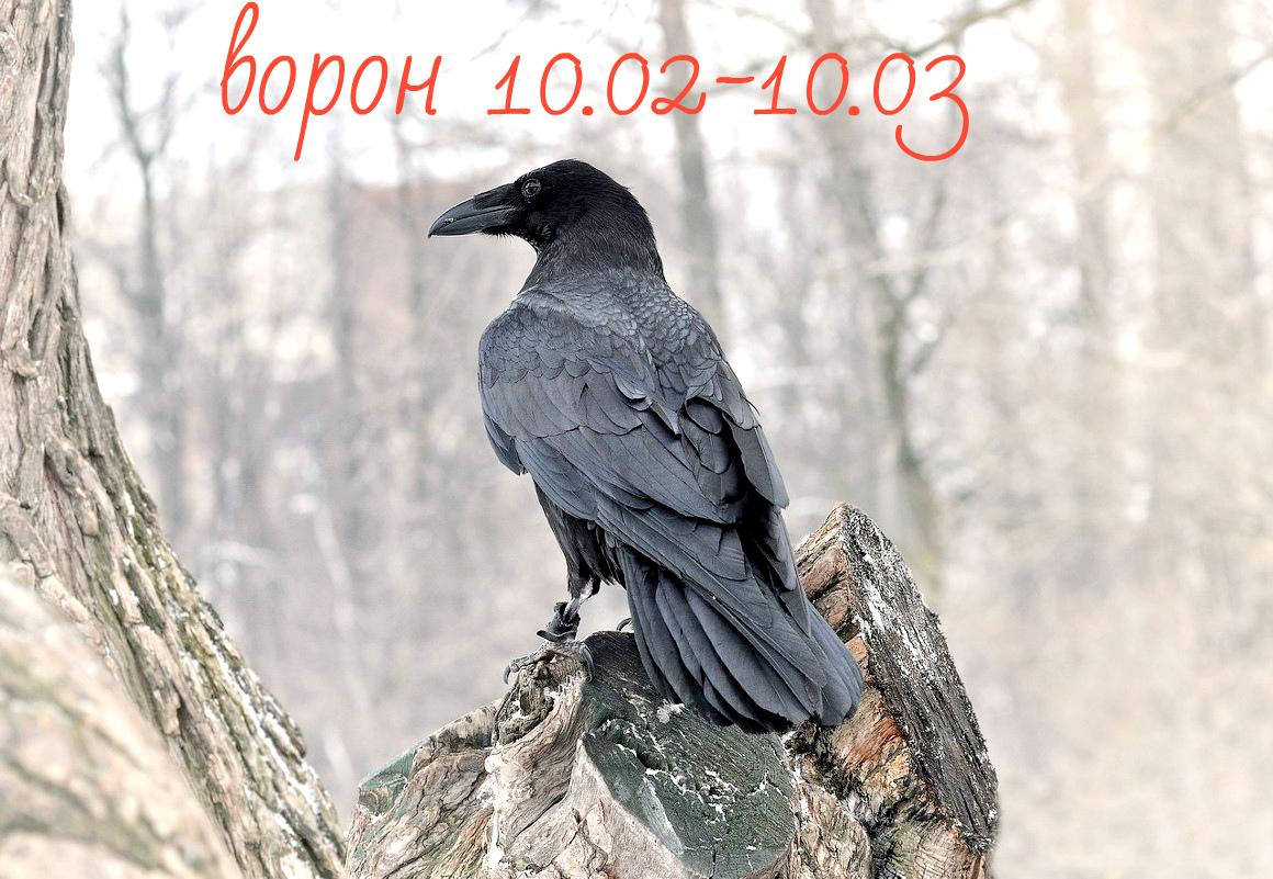 Славянский гороскоп животных по месяцам - ворон