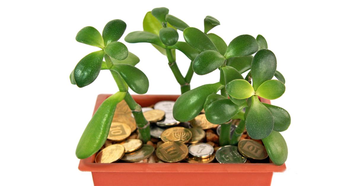 растение на привлечение богатства