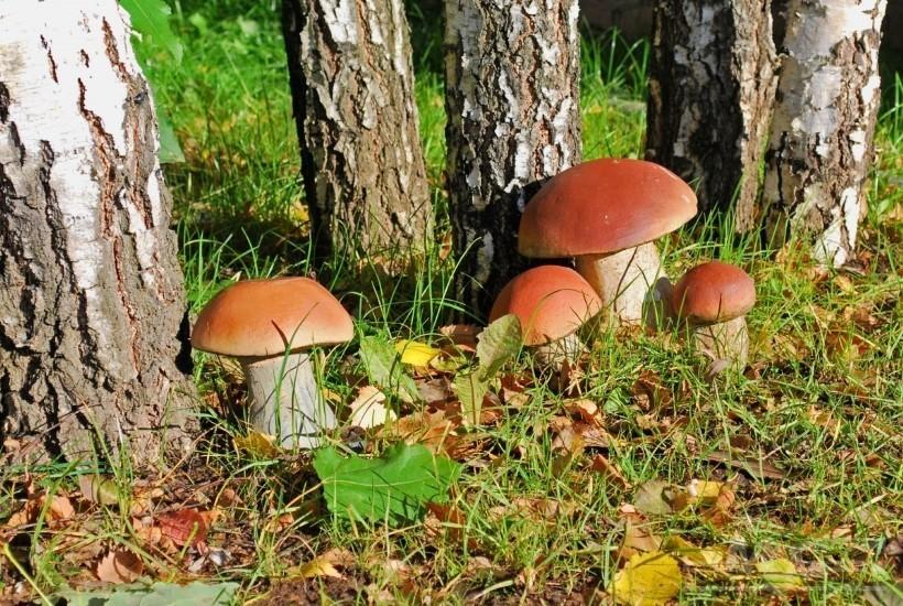 много грибов - зима будет сытной